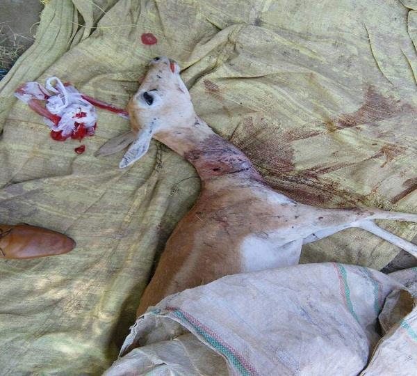death of a pregnant deer