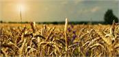 bathinda  grain market  farmer