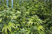 himachal on canada formula marijuana