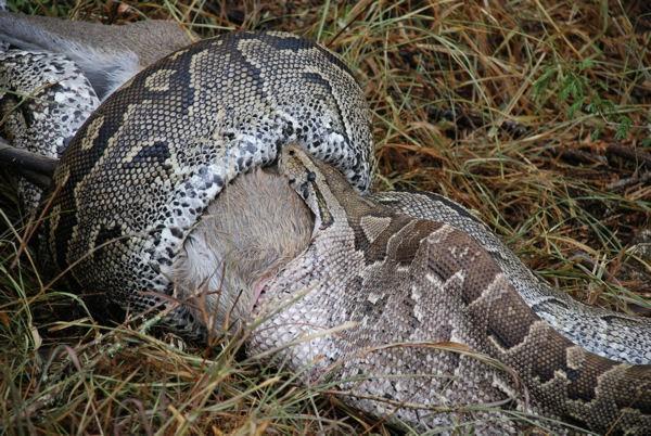 12 feet python swallowed a jackal