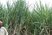 modi government can announce frp of sugarcane today