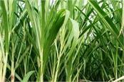 sugarcane price