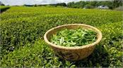 refreshment seen in iran tea export  increased expectations