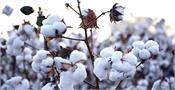 cci  cotton  mandis  cotton season