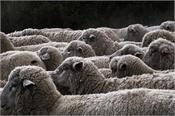 the sheep is used to abuse them