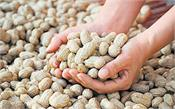 groundnut output likely to be 40 more than last year