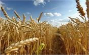 ludhiana  corona  wheat crop