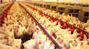 lockdown caused huge losses to the poultry industry