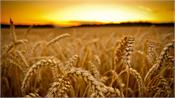 farmers avoid accidents during wheat harvest