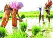 patiala paddy planting farmers