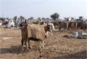 government of punjab kovid 19 cattle fair
