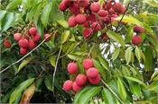 lychee disease resistant  a person can eat 9 kg of lychee