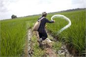 paddy basmati fertilizers medicines use blindly