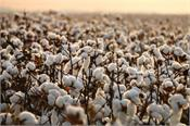 cci  cotton  knots  procurement  farmers