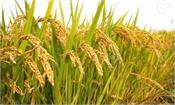 msp procurement of kharif paddy begins immediately in punjab