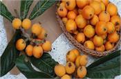 health benefits of eating loquat