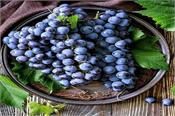 controls anemia and diabetes black grapes learn more amazing benefits