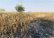 short circuit  wheat  crops  sri muktsar sahib
