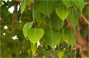oxygen peepal leaf save coronavirus
