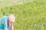 preparation of paddy