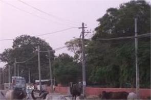 mansa city becomes   cattle pound