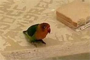 netherlands  parrot photo viral
