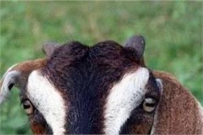 death of a goat company loss 2 68 crore