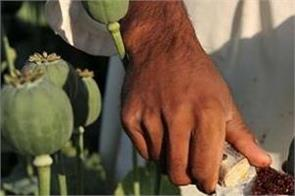 the demand for opium cultivation in punjab right or wrong
