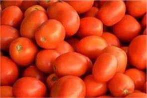 estimates of tomato price reduction after diwali