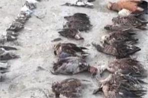 thousand birds found dead sambhar lake