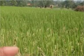 gurdaspur natural disasters crops bbye bbye 2019