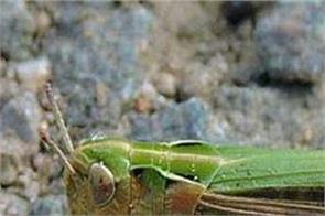 punjab  grasshoppers danger  prevention
