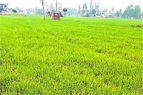gurdaspur  rain  crops  boons