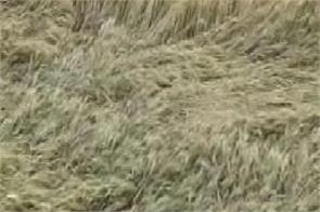 coronavirus wheat harvest rupnagar farmers upset