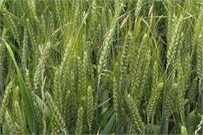 purchase of wheat in punjab disrupted by weather