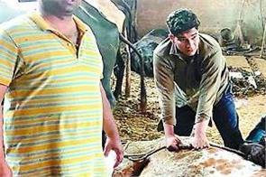 malerkotla  dairy farm  50 cattle  death