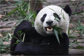 colorless panda in china