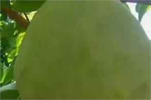 mango nurjahan of mango  found in 1200 rupees is a fruit