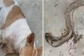 dog kill snake and save owner