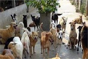 gurdaspur  stray dogs  number