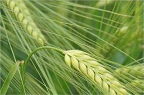 income  many problems  solutions  wheat  organic farming
