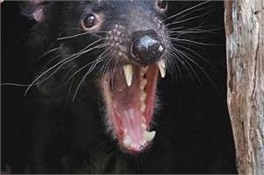 australia tasmanian devil