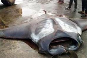 giant manta ray weighing 750 kg caught by fisherman off karnataka coast