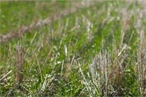 wheat  urea fertilizer  use  farmers