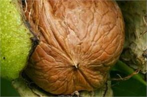 j k the department of horticulture will cultivate the best walnuts