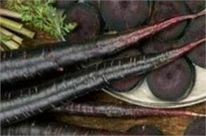 eating black carrots in winter will boost immunity and also prevent cancer