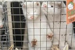 at least 200 mink dead after covid 19 outbreak at b c fur farm