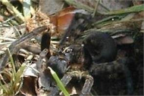 fires floods australians deadly funnel web spiders