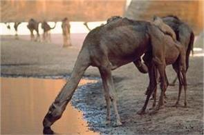 australia to kill 10 000 camels because   they drink too much water