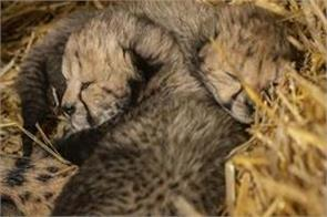 cheetah cub born for the first time with ivf technique